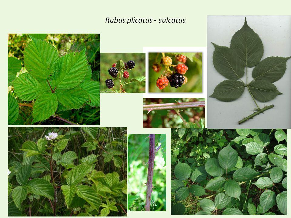 Rubus plicatus - sulcatus