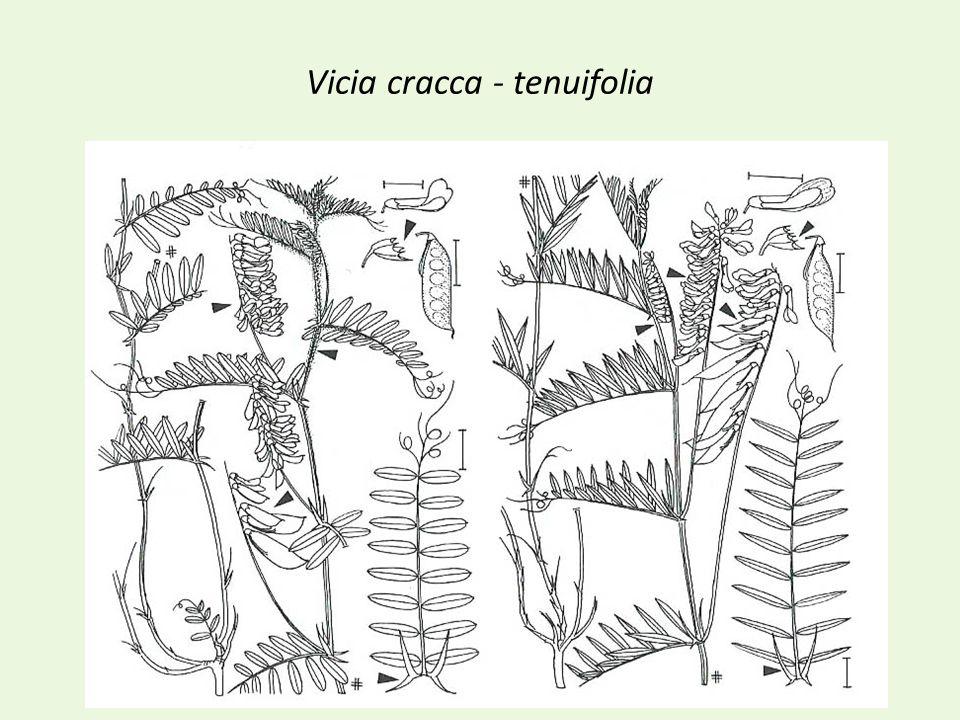 Vicia cracca - tenuifolia