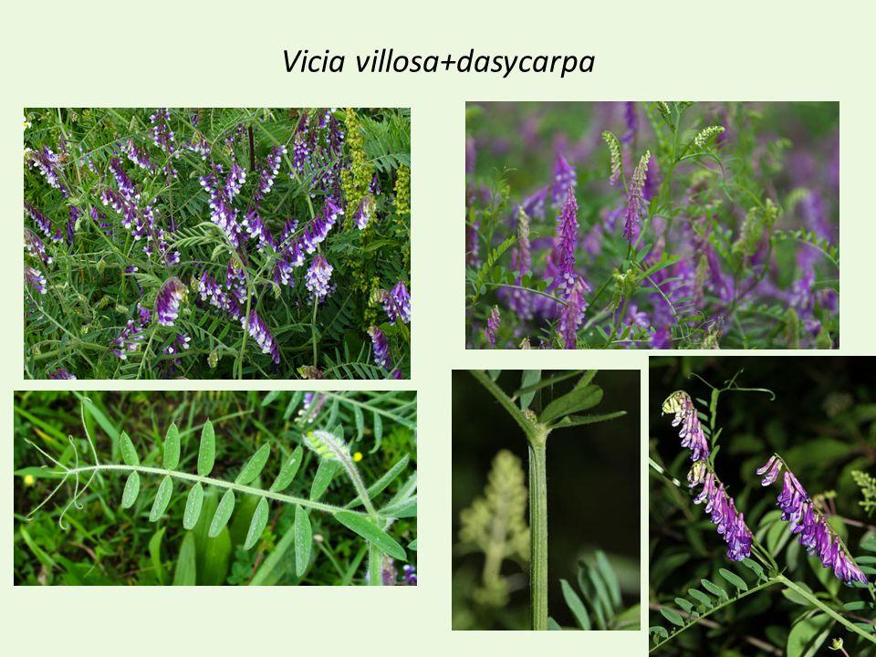 Vicia villosa+dasycarpa