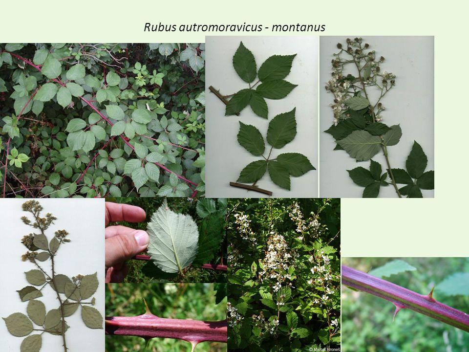 Rubus autromoravicus - montanus