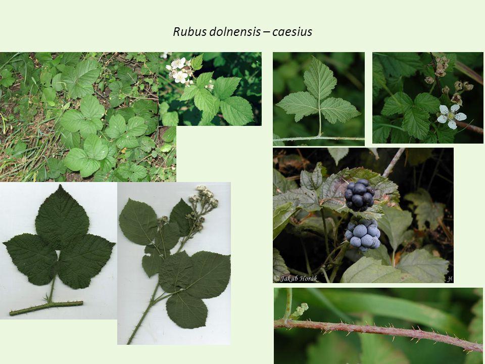 Rubus dolnensis – caesius