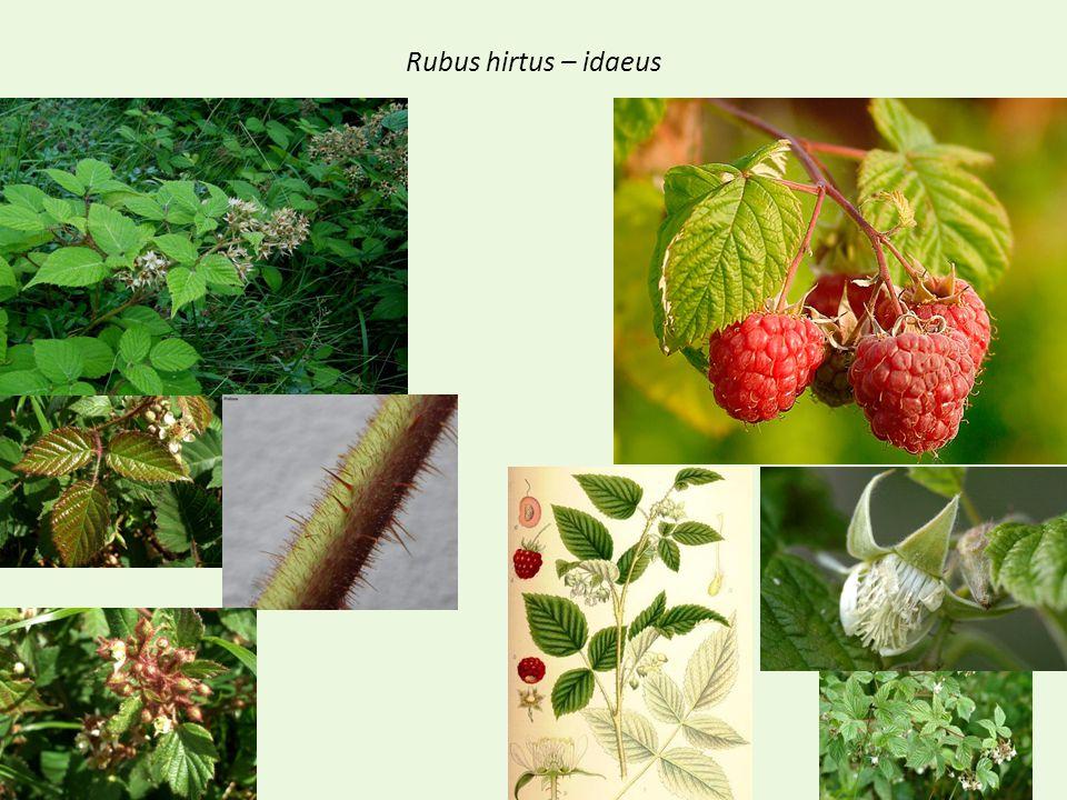 Rubus hirtus – idaeus