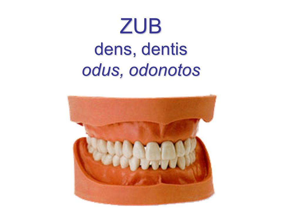 Zuby (Dentes) arcus dentalis superior (maxillaris) – elipsa arcus dentalis inferior (mandibularis) – parabola trvalé zuby (dentes permanentes) – 32 dočasné zuby (dentes decidui) – 20 dens incisivus (= řezák) 8/8 dens caninus (= špičák) 4/4 dens premolaris (= třenový) 8/0 dens molaris (= stolička) 12/8