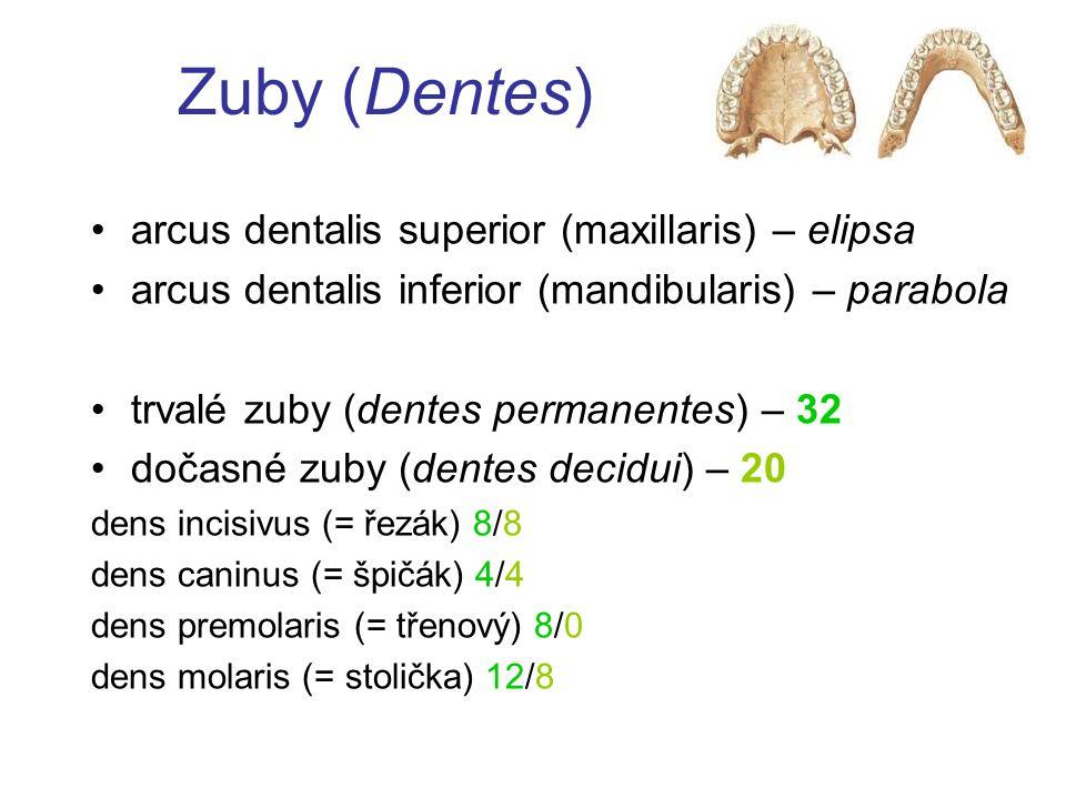 """Dáseň (Gingiva) linea mucogingivalis gingiva alveolaris (pars affixa gingivae) –růžová, tečkovaná, rohovějící """"free gingival groove gingiva marginalis (pars libera gingivae) –lesklá, červená, nerohovějící sulcus gingivalis junctio dentogingivalis (dentogingivální junkce) epithelium junctionale (junkční epitel)"""