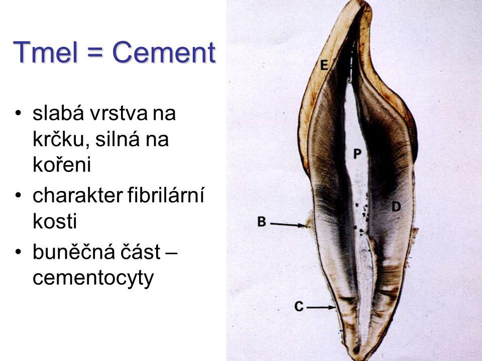 Tmel = Cement slabá vrstva na krčku, silná na kořeni charakter fibrilární kosti buněčná část – cementocyty