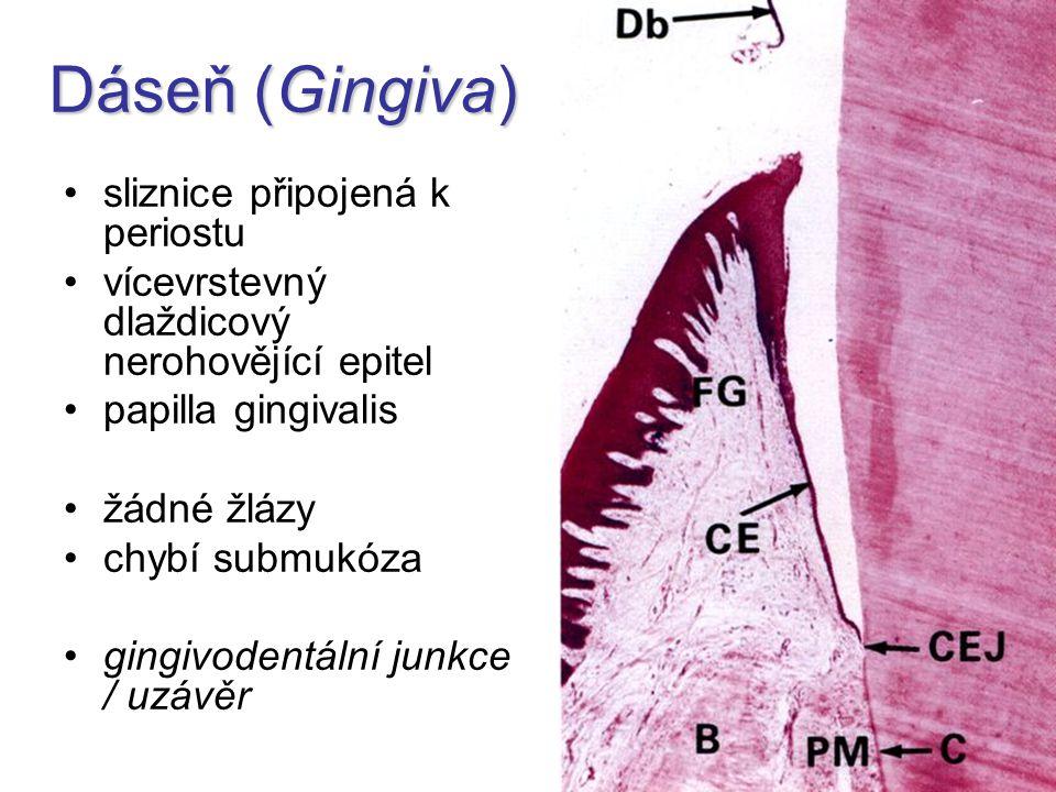 Dáseň (Gingiva) sliznice připojená k periostu vícevrstevný dlaždicový nerohovějící epitel papilla gingivalis žádné žlázy chybí submukóza gingivodentál