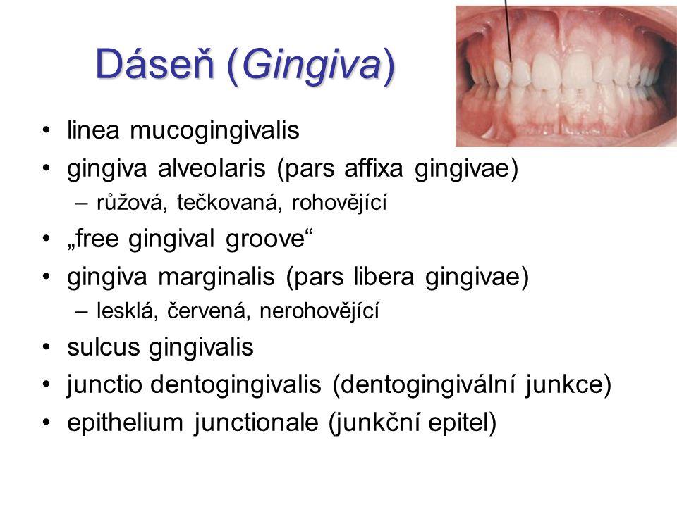 """Dáseň (Gingiva) linea mucogingivalis gingiva alveolaris (pars affixa gingivae) –růžová, tečkovaná, rohovějící """"free gingival groove"""" gingiva marginali"""