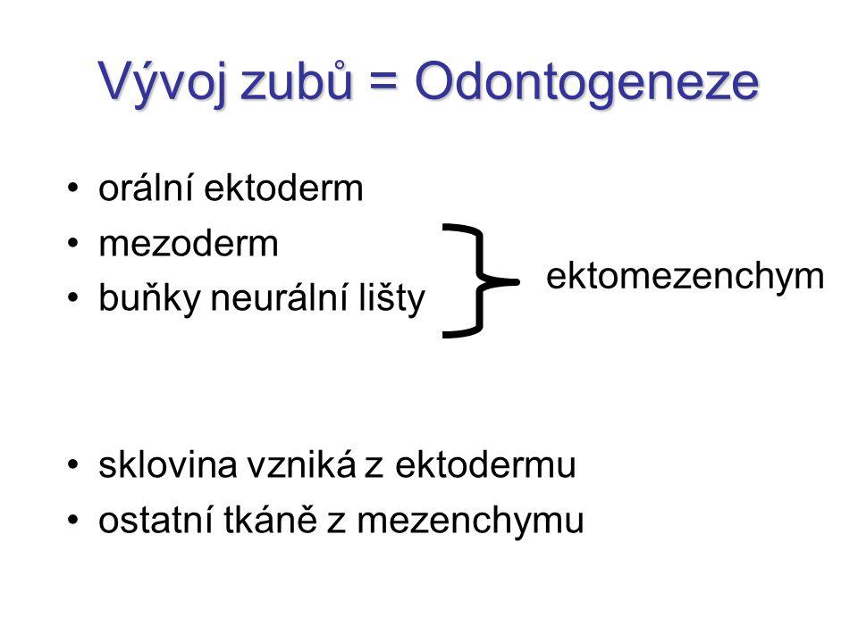 Vývoj zubů = Odontogeneze ektomezenchym orální ektoderm mezoderm buňky neurální lišty sklovina vzniká z ektodermu ostatní tkáně z mezenchymu