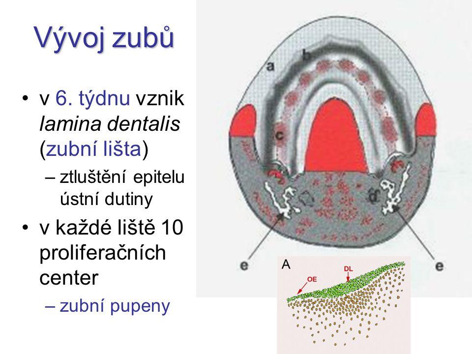 Vývoj zubů v 6. týdnu vznik lamina dentalis (zubní lišta) –ztluštění epitelu ústní dutiny v každé liště 10 proliferačních center –zubní pupeny