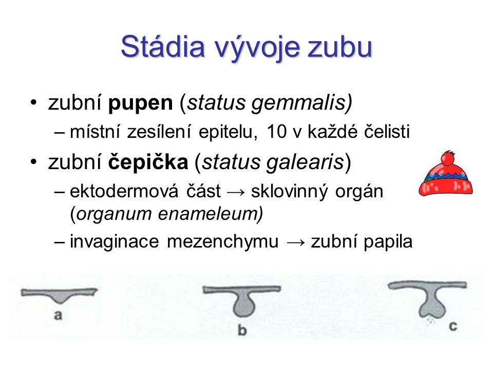 Stádia vývoje zubu zubní pupen (status gemmalis) –místní zesílení epitelu, 10 v každé čelisti zubní čepička (status galearis) –ektodermová část → sklo