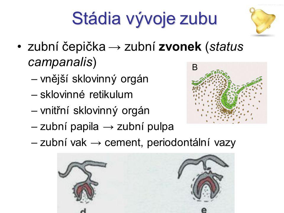 Stádia vývoje zubu zubní čepička → zubní zvonek (status campanalis) –vnější sklovinný orgán –sklovinné retikulum –vnitřní sklovinný orgán –zubní papil