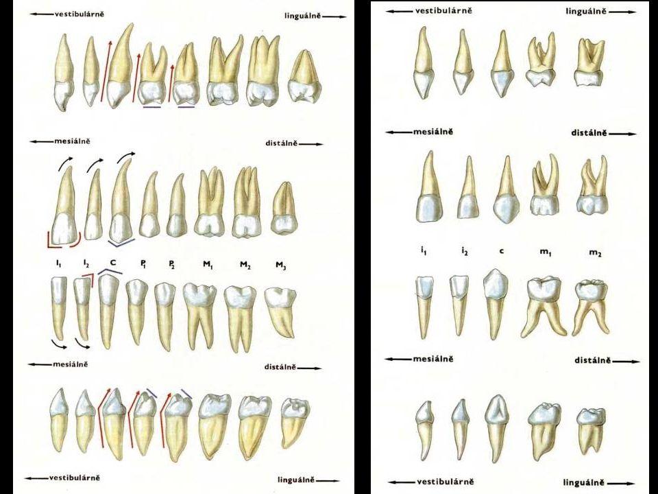 Zuby – č ásti korunka (corona) krček (cervix) kořen (radix) dřeň (pulpa)