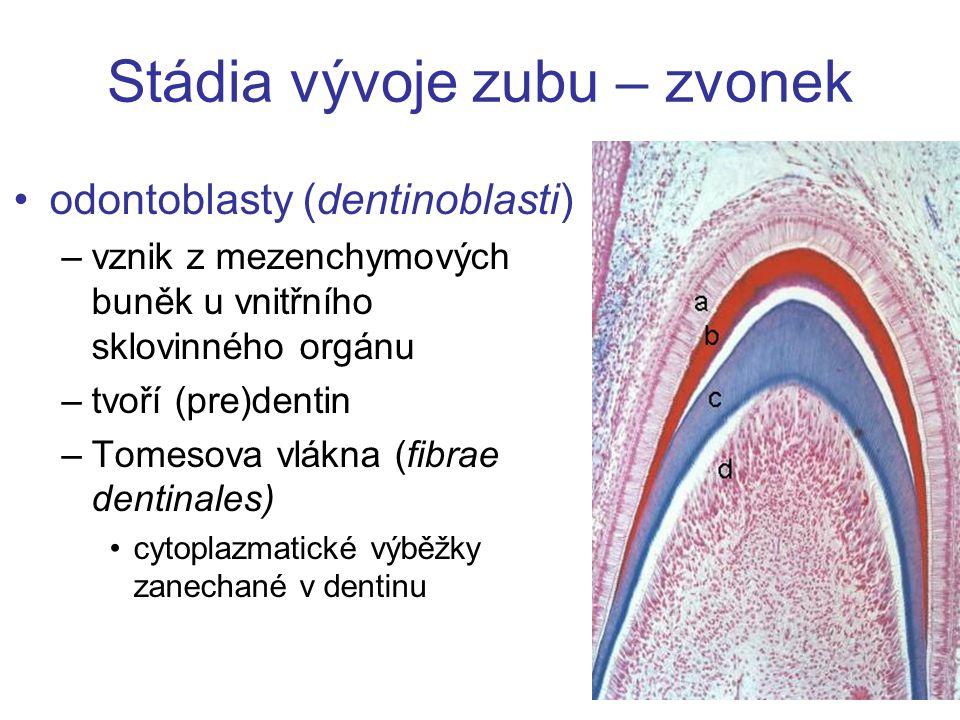 Stádia vývoje zubu – zvonek odontoblasty (dentinoblasti) –vznik z mezenchymových buněk u vnitřního sklovinného orgánu –tvoří (pre)dentin –Tomesova vlá