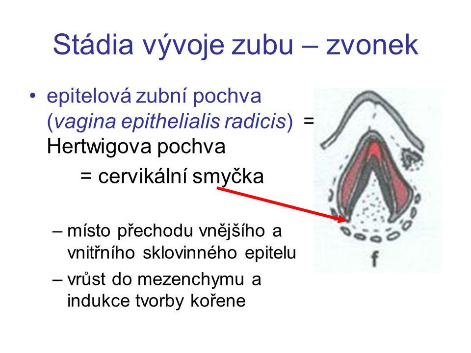 Stádia vývoje zubu – zvonek epitelová zubní pochva (vagina epithelialis radicis) = Hertwigova pochva = cervikální smyčka –místo přechodu vnějšího a vn
