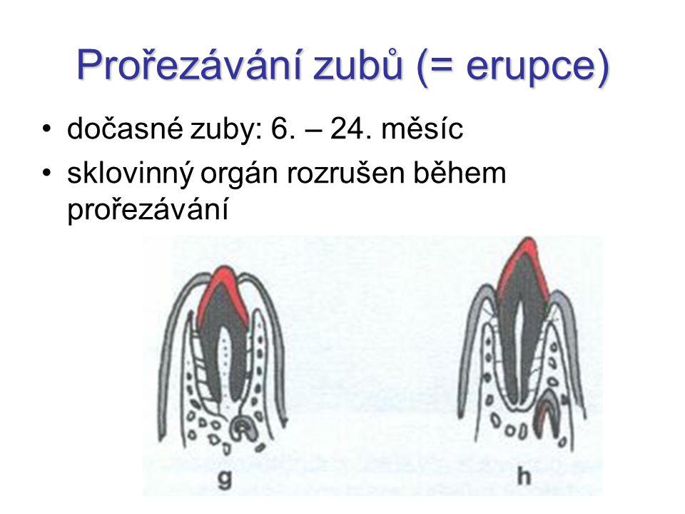 Prořezávání zubů (= erupce) dočasné zuby: 6. – 24. měsíc sklovinný orgán rozrušen během prořezávání