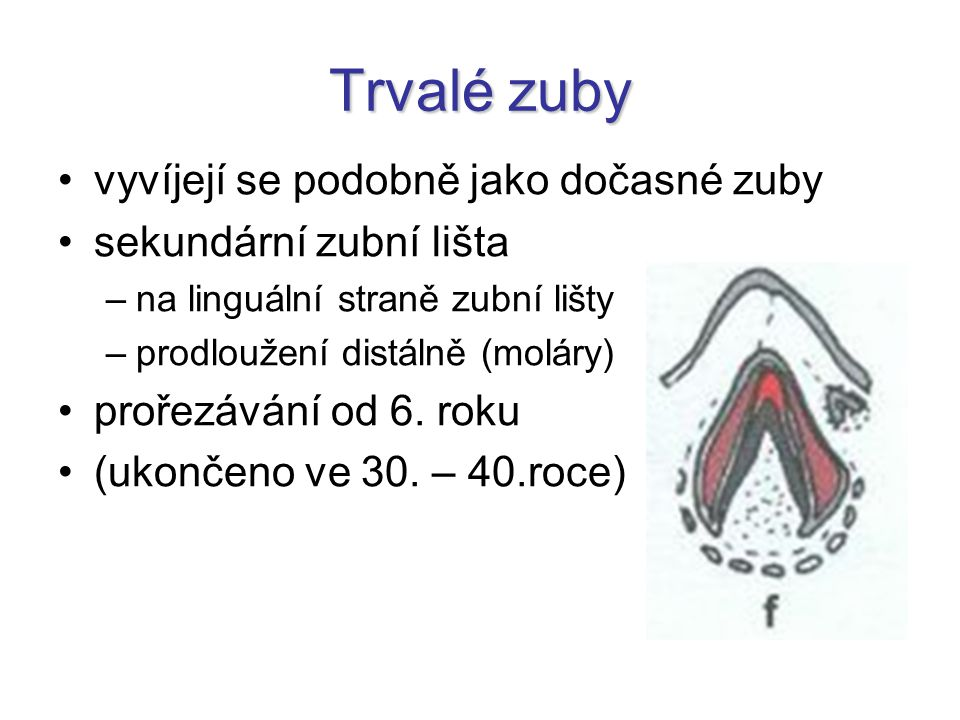 Trvalé zuby vyvíjejí se podobně jako dočasné zuby sekundární zubní lišta –na linguální straně zubní lišty –prodloužení distálně (moláry) prořezávání o