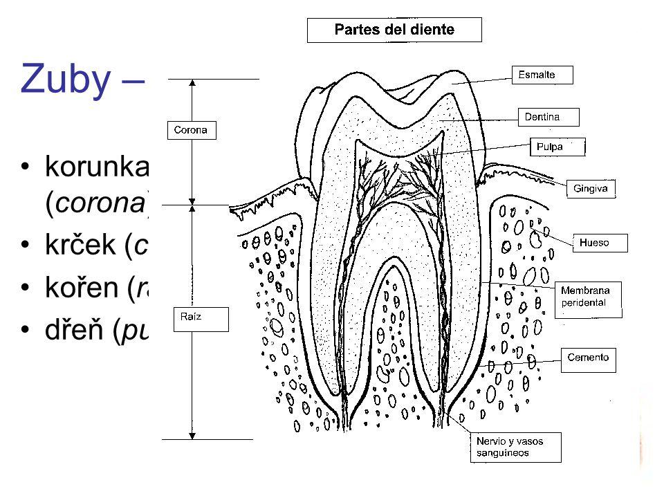 Zubní vzorec dvojčíselný (Féderation Dentaire Internationale) –1-4 kvadranty (zprava nahoře po směru hodinových ručiček = clock-wise) = TRVALÝ –5-8 (totéž) = dočasný číselný (American Dental Association) –čísla 1-32 (od pravé horní třetí stoličky po směru hodinových ručiček = clock-wise) = TRVALÝ –písmena A-T (totéž od pravé horní druhé stoličky) = dočasný