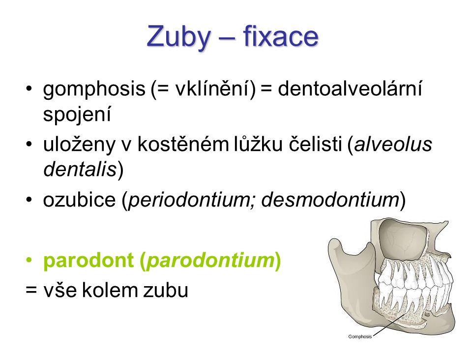 Zuby – fixace gomphosis (= vklínění) = dentoalveolární spojení uloženy v kostěném lůžku čelisti (alveolus dentalis) ozubice (periodontium; desmodontiu