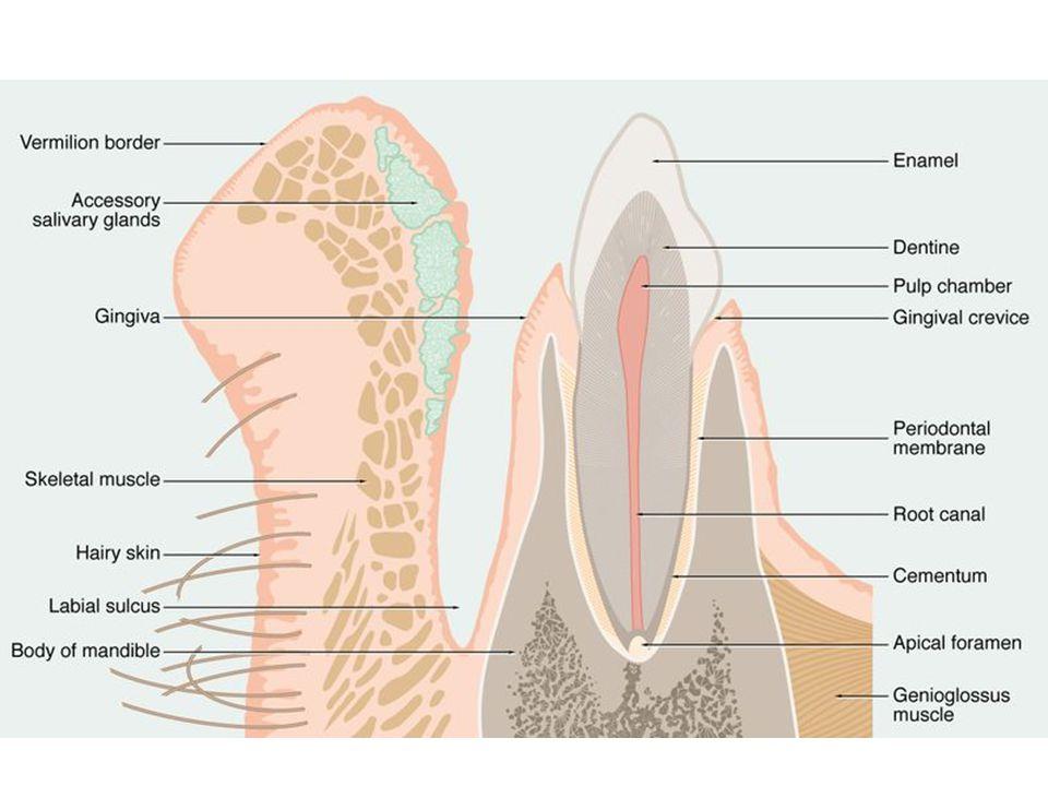 mezi zubem a zubním lůžkem (připevněny ke kosti alveolu) kolagenní vazivo (slouží jako periost alveolu) závěsný aparát zubu = vlákna různých směrů pronikají do cementu vysoká obměna vaziva, plasticita – ortodoncie atrofie při nedostatku bílkovin, vitamínu C → kurděje (= skorbut) Ozubicové vazy (peridontium)
