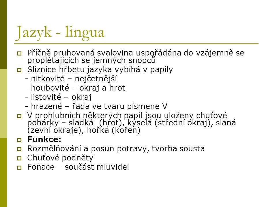 Jazyk - lingua  Příčně pruhovaná svalovina uspořádána do vzájemně se proplétajících se jemných snopců  Sliznice hřbetu jazyka vybíhá v papily - nitk