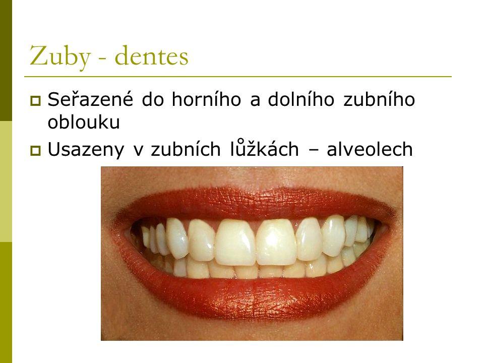 Zuby - dentes  Seřazené do horního a dolního zubního oblouku  Usazeny v zubních lůžkách – alveolech