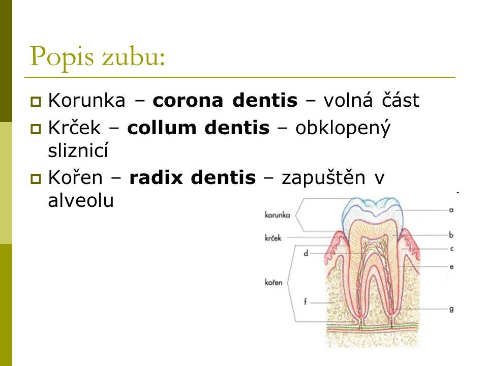 Popis zubu:  Korunka – corona dentis – volná část  Krček – collum dentis – obklopený sliznicí  Kořen – radix dentis – zapuštěn v alveolu