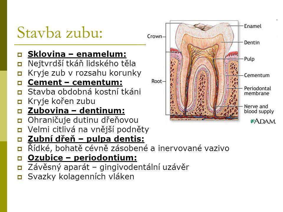 Stavba zubu:  Sklovina – enamelum:  Nejtvrdší tkáň lidského těla  Kryje zub v rozsahu korunky  Cement – cementum:  Stavba obdobná kostní tkáni 