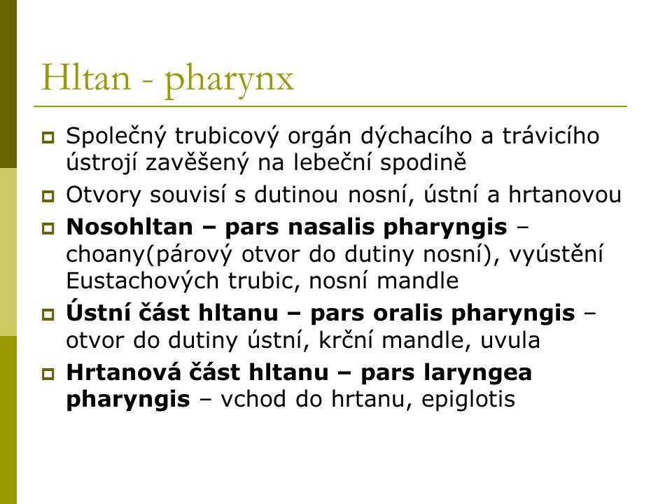 Hltan - pharynx  Společný trubicový orgán dýchacího a trávicího ústrojí zavěšený na lebeční spodině  Otvory souvisí s dutinou nosní, ústní a hrtanov