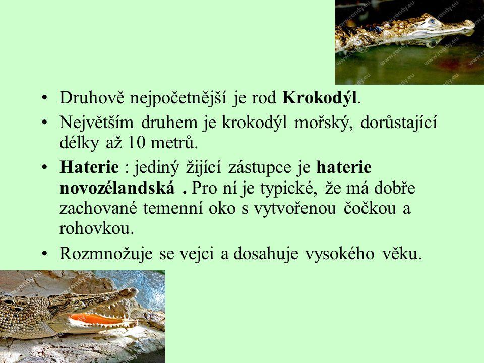 Druhově nejpočetnější je rod Krokodýl. Největším druhem je krokodýl mořský, dorůstající délky až 10 metrů. Haterie : jediný žijící zástupce je haterie
