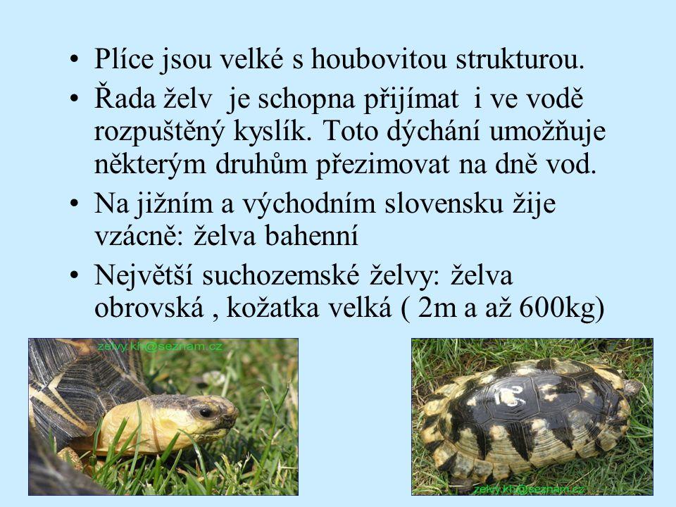 Plíce jsou velké s houbovitou strukturou. Řada želv je schopna přijímat i ve vodě rozpuštěný kyslík. Toto dýchání umožňuje některým druhům přezimovat