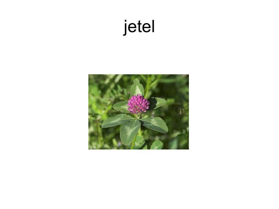 jetel