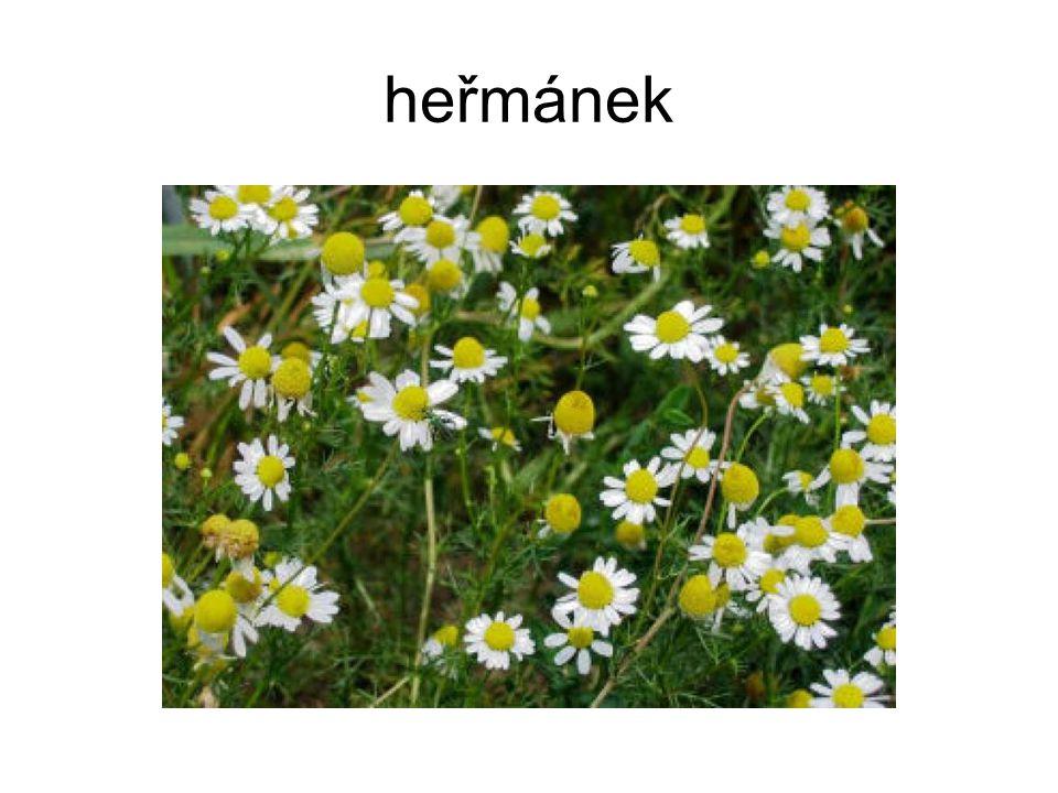 heřmánek