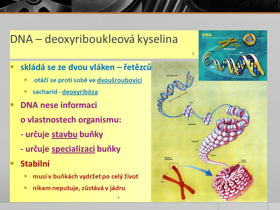 DNA – deoxyriboukleová kyselina 3  skládá se ze dvou vláken – řetězců  otáčí se proti sobě ve dvoušroubovici  sacharid - deoxyribóza  DNA nese informaci o vlastnostech organismu: - určuje stavbu buňky - určuje specializaci buňky  Stabilní  musí v buňkách vydržet po celý život  nikam neputuje, zůstává v jádru 4