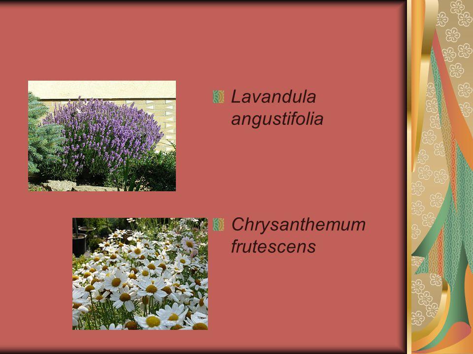 Lavandula angustifolia Chrysanthemum frutescens