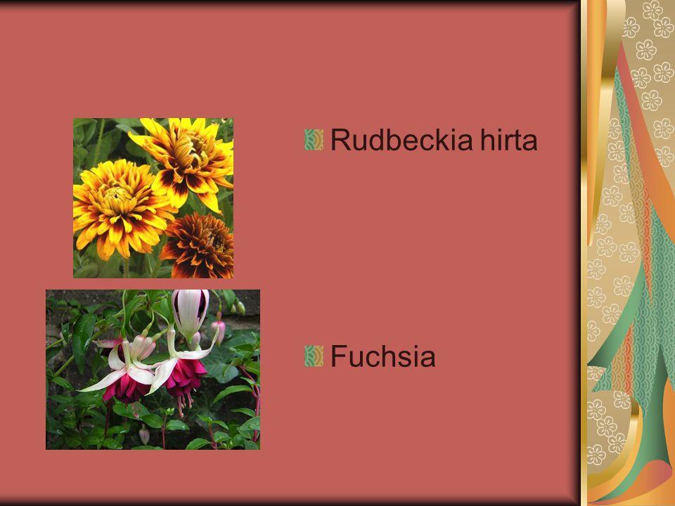 Rudbeckia hirta Fuchsia