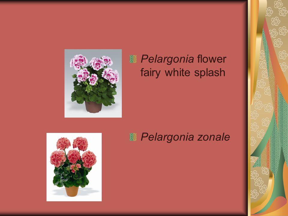 Pelargonia flower fairy white splash Pelargonia zonale
