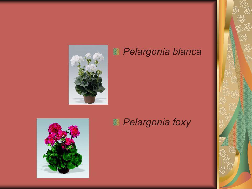 Pelargonia blanca Pelargonia foxy
