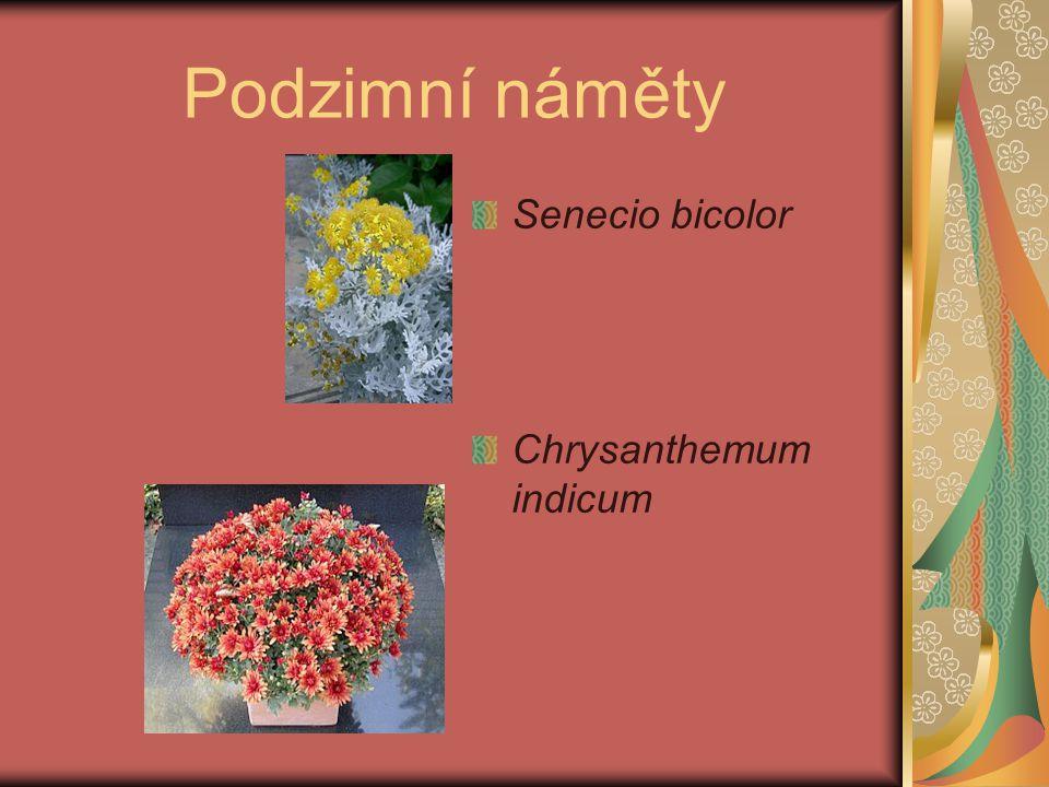 Podzimní náměty Senecio bicolor Chrysanthemum indicum