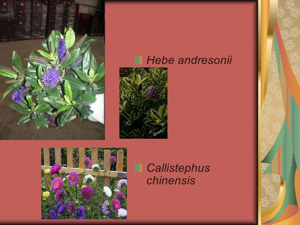 Hebe andresonii Callistephus chinensis