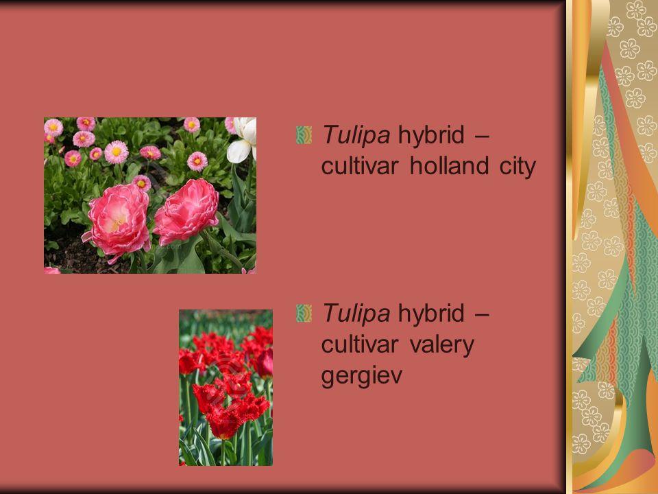 Tulipa hybrid – cultivar holland city Tulipa hybrid – cultivar valery gergiev