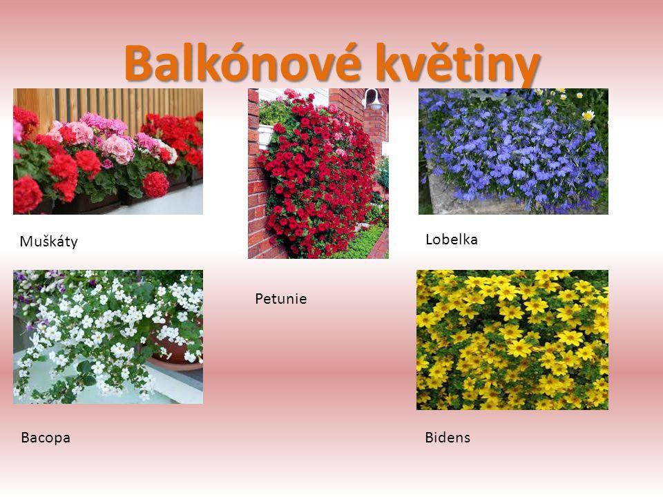 Balkónové květiny Muškáty Petunie Lobelka BacopaBidens