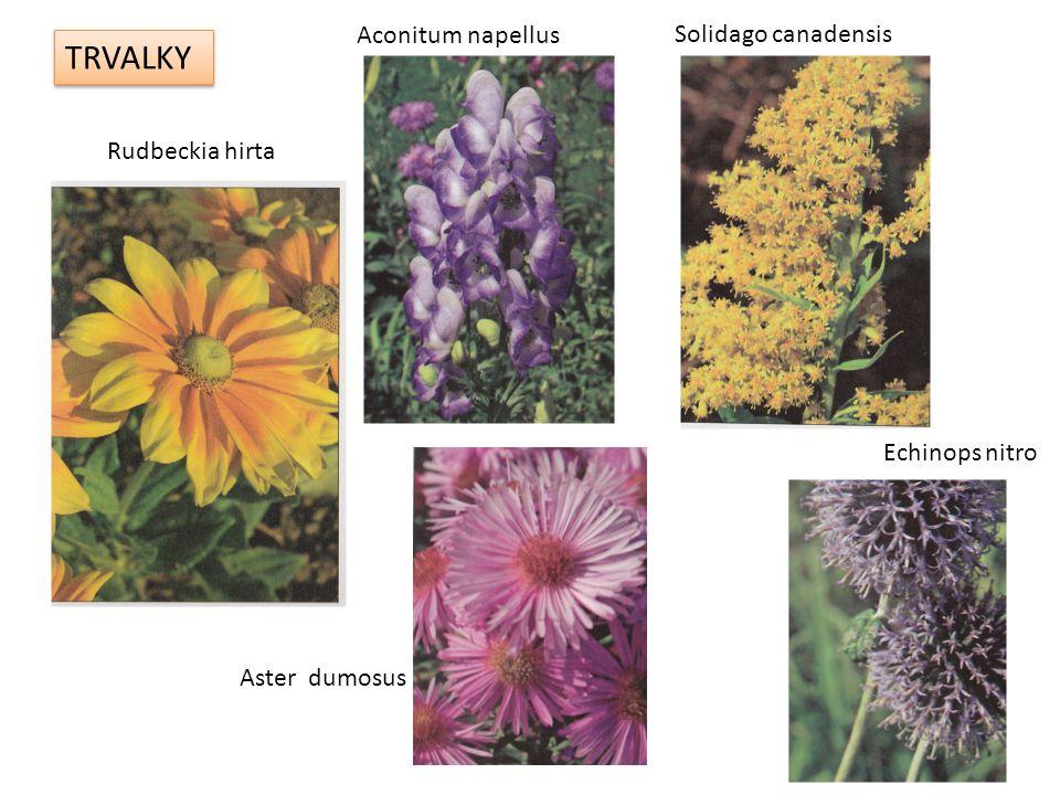 TRVALKY Rudbeckia hirta Solidago canadensis Aconitum napellus Aster dumosus Echinops nitro