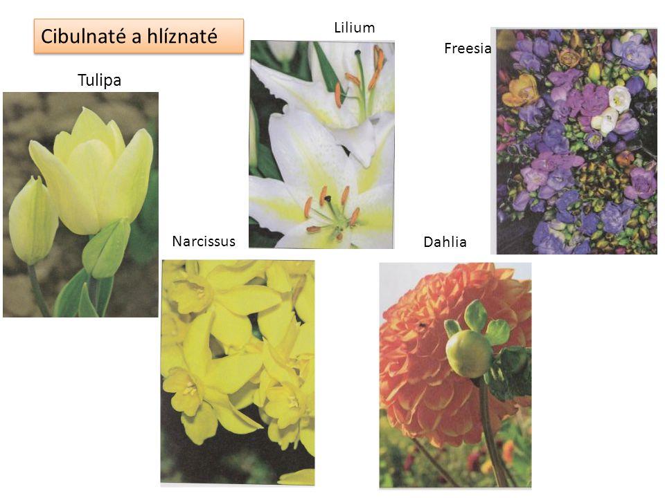 Cibulnaté a hlíznaté Tulipa Narcissus Lilium Dahlia Freesia