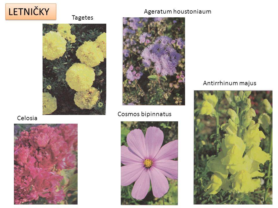 DVOULETKY Viola x witrockiana Bellis perennis Myosotis sylvatica