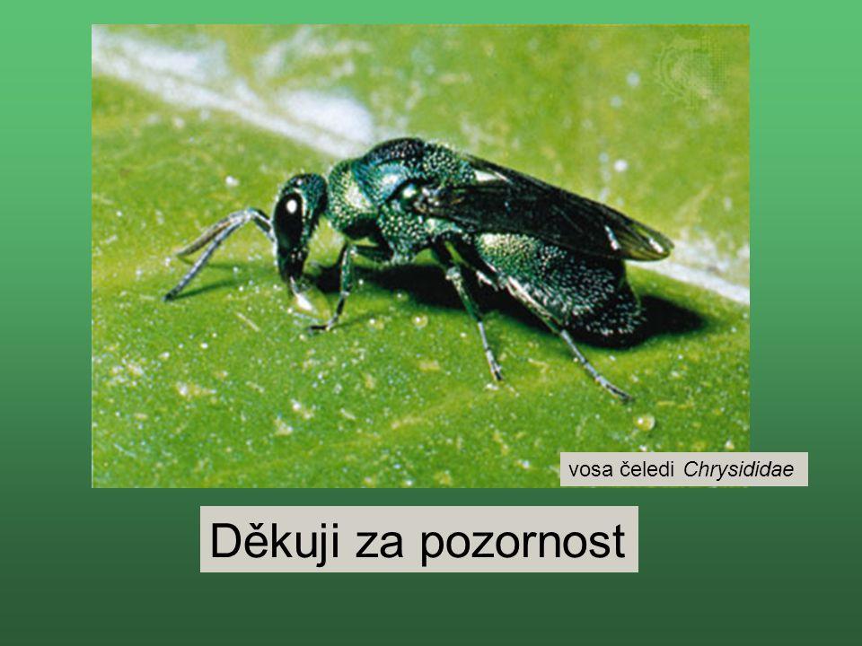 Děkuji za pozornost vosa čeledi Chrysididae