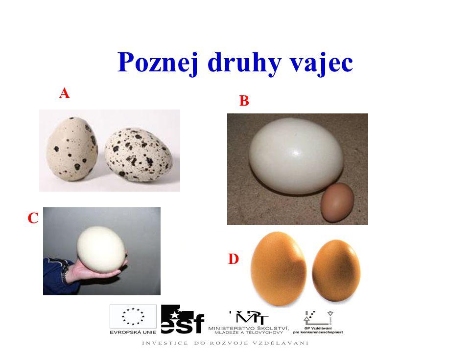 Vysychání obsahu vajec A – třídenní vejce - oblý žloutek, bílek má dvě vrstvy, B – dvanáctidenní vejce - žloutek plošší, dvě vrstvy bílku jsou méně pa