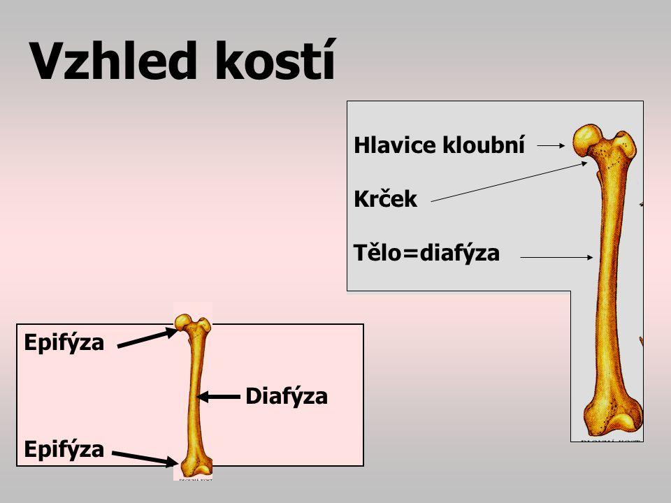 Kost Skládá se ze 3 složek: 1.Okostice – periost 2.