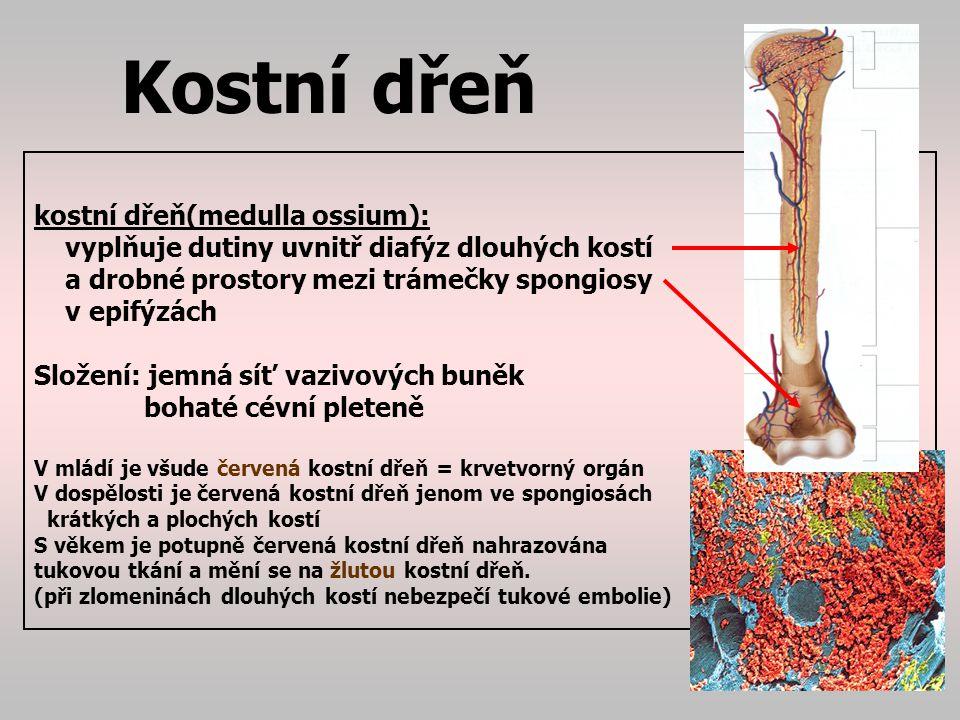 Růst kostí Osifikace=kostnatění Osifikace=kostnatění: je růst a proměna vazivového či chrupavčitého základu v kost Osifikace z vaziva:typická pro obličej, lebku Osifikace z chrupavky: ostatní kostí Vazivová nebo chrupavčitá tkáň je postupně proměňována kostními buňkami na kost.