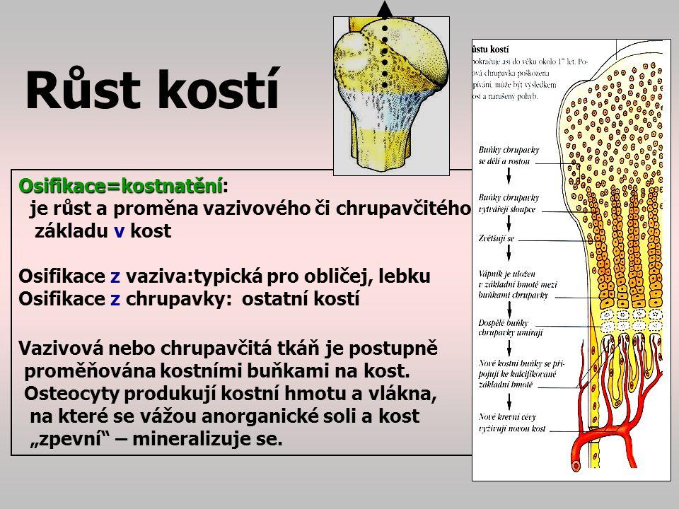 Růstová chrupavka Osifikace=kostnatění: místo, kde probíhá růst kostí (přeměna chrupavky v kost) se jmenuje růstová chrupavka = fýza U dlouhých kostí mezi epifýzou a diafýzou.