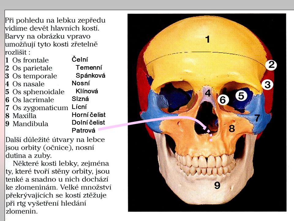 Mozková část lebky temenní kost (os parietale) čelní kost (os frontale) spánková kost (os temporale) týlní kost (os occipitale) klínová kost (os sphenoidale) čichová kost (os etmoidale)